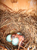 CITIZEN SCIENCE: Bluebird Nest Box Monitoring Project 2011