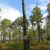 Ron Stephens measuring the height of the  Redcockaded woodpecker nesting cavity.