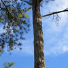 Redcockaded woodpecker nesting cavity at Piney Grove
