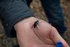 Genus Meloe: Oil Beetle, unidentified species. Hickory Hollow Natural Area Preserve: Photographer, Carol Hammer 2Apr09