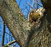 Mammal sleeping in tree, groundhog? Belle Isle State Park