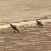 Sanderlings Feeding