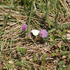 Cabbage White butterfly at Kemper Park. NABA Butterfly Count. July 1, 2012. Photo by Rachel Wallace.