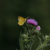 Sulphur butterfly mounts a thistle at Kemper Park. NABA Butterfly Count. July 1, 2012. Photo by Rachel Wallace.