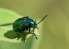 Fluvanna-Species-Dogbane Beetle-Buchholz