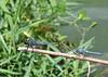 Fluvanna-Species-Slaty Skimmer&Eastern Pondhawk-Buchholz