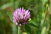 Fluvanna-Species-Syrphid fly and Red Clover-Buchholz