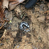 RMN Salamander Hike, March 3, 2012: Marbled salamander, <em>Ambystoma opacum</em>. Photo by Eric Johnson.
