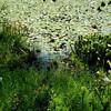 sphagnum islands<br /> Riverine Chapter field trip to John Hummer's wetlands, June 2009