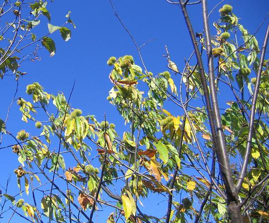 Chestnuts at Blackrock