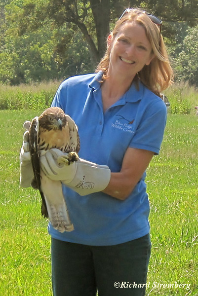 VMN Dr. Belinda Burwell prepares to release a Redtail Hawk that was rehabed at the Blue Ridge Wildlife Center.