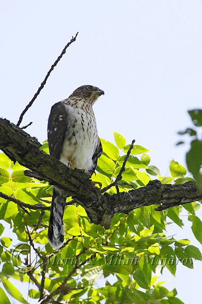 Newly released Coopers Hawk that was rehabilitated at the Blue Ridge Wildlife Center by VMN Dr. Belinda Burwell.