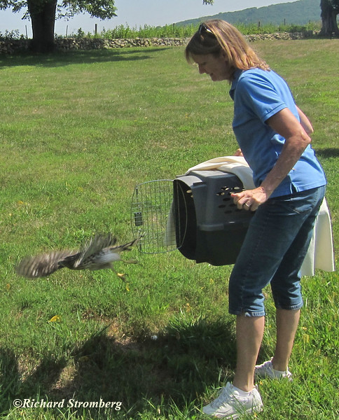 VMN Dr. Belinda Burwell releases a juvenile Coopers Hawk that was rehabed at the Blue Ridge Wildlife Center.