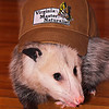 Penny, an opossum from Blue Ridge Wildlife Center, models a Master Naturalist hat in the Mammology class for 2011 VMN Shenandoah Chapter trainees.