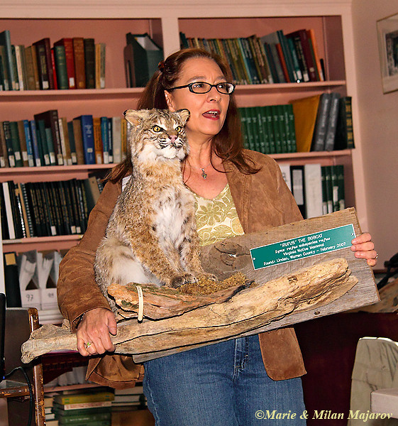 "Dr. Lutzow-Felling is Director of Education at UVA's Blandy Experimental Farm and a VMN; here she talks about ""Rufus"" an example of a bobcat losing his life due to the effects of habitat fragmentation for 2011 trainees. Rufus is used for educational purposes thanks to a DGIF Salvage permit."