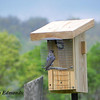 In addition to bluebirds, tree sweallows and house wrens take up residence on the new trail.