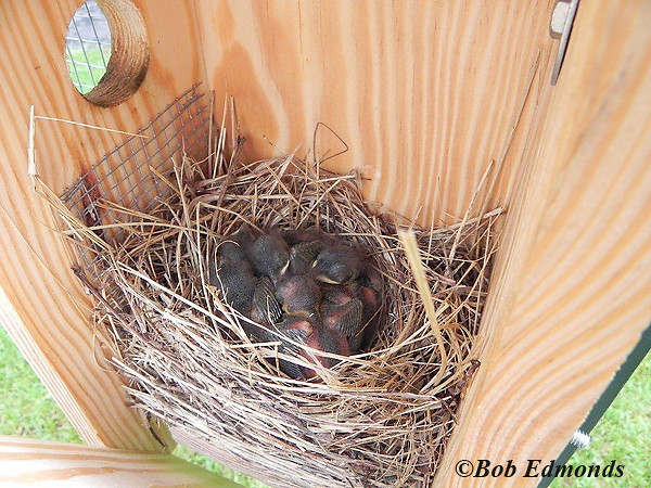 Bluebird chicks huddle in their nestbox on the New Sky Meadows Bluebird Trail, which is monitored by the VMN led by Margaret Wester.