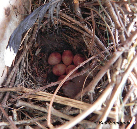 In addition to bluebirds, tree sweallows and house wrens also take up residence on the new trail; tiny pinkish house wren eggs in a nest of sticks are seen here.