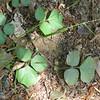prostrate trick trefoil (Desmodium roundifolium) along parking area