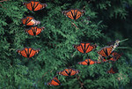 Monarch migration at St. Marks NWR<br /> photo credit: Bart Smith / Florida Trail Association