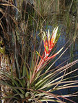 Bromeliad in Big Cypress National Preserve