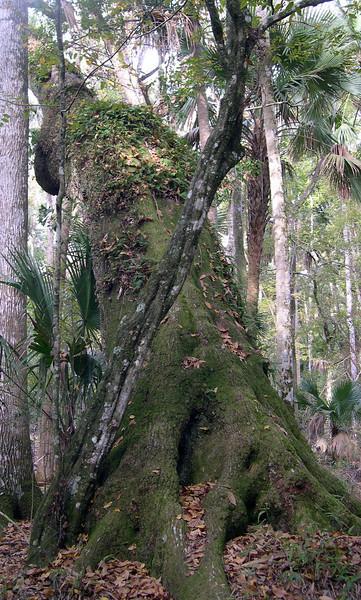 Ancient oak at Bulow Creek<br /> photo credit: Susan Young / Florida Trail Association
