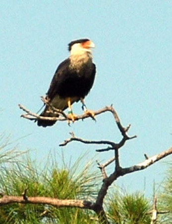 Caracara at Viera Wetlands <br /> photo credit: Susan Young / Florida Trail Association