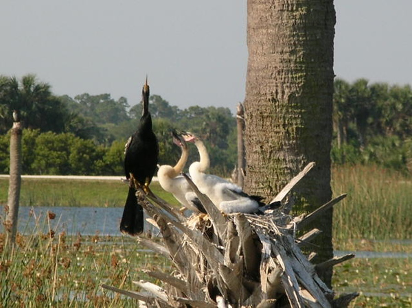 Cormorants at Viera Wetlands <br /> photo credit: Susan Young / Florida Trail Association