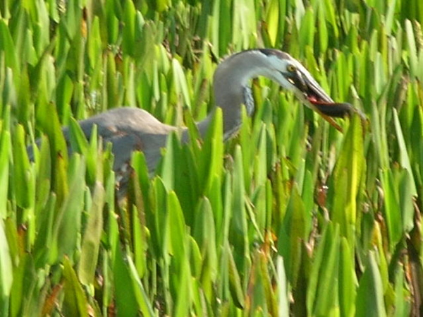 Great blue heron at Viera Wetlands <br /> photo credit: Susan Young / Florida Trail Association