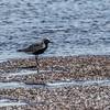 Grey Plover - Strandhjejle