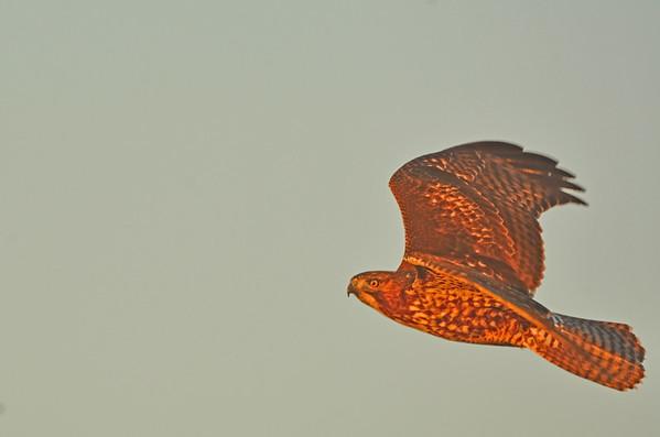 Charbonneau Park Colors, A sun-warmed Hawk: 10-2617