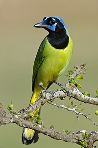 Green Jay Laguna Seca Ranch.  Edinburg, TX