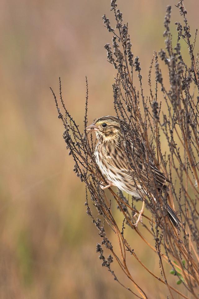 Savannah Sparrow Port Aransas, TX
