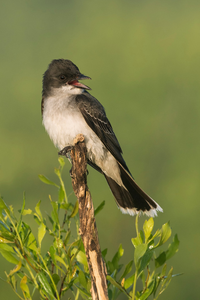 Eastern Kingbird Galveston State Park, TX