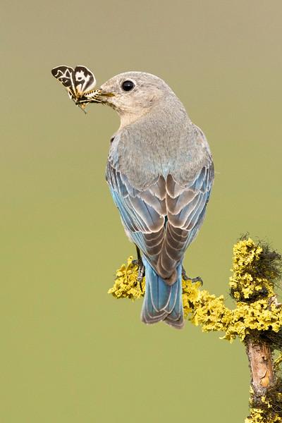 Mountain Bluebird Female Kamloops, BC, Canada