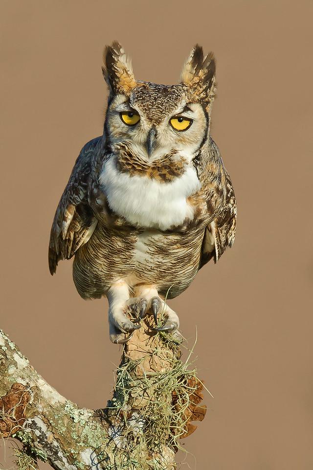 Great Horned Owl Laguna Seca Ranch.  Edinburg, TX