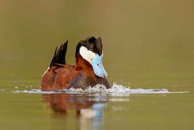 Ruddy Duck Kamloops, BC, Canada