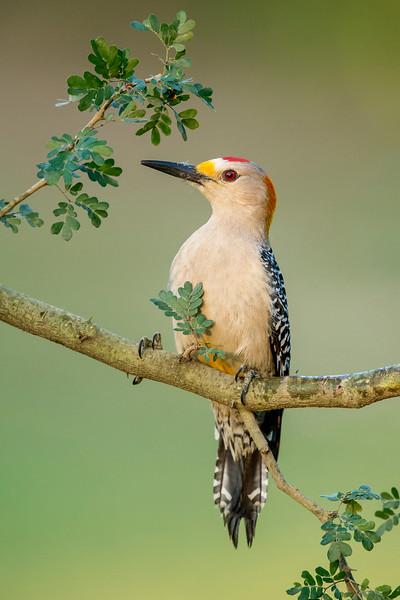 Golden-fronted Woodpecker Laguna Seca Ranch,  Edinburg, TX