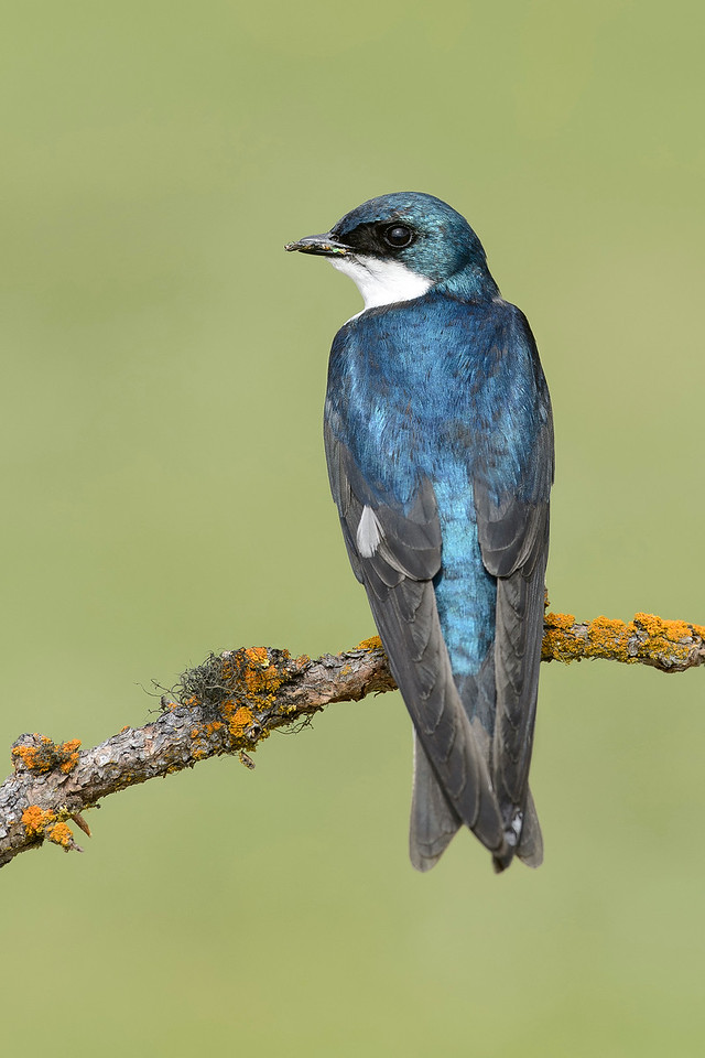 Tree Swallow Kamloops, BC, Canada