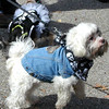Debbie Blank | The Herald-Tribune<br /> Puppies were dressed in denim, tutus, bandanas and everything in between.