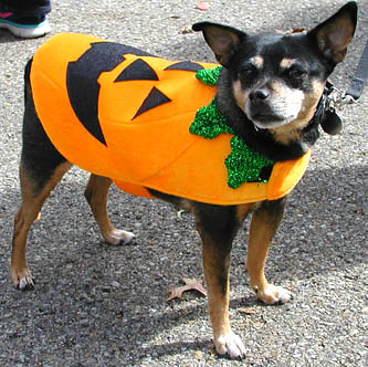 Debbie Blank | The Herald-Tribune<br /> Rescue dog Mako, owned by Ruth Beeler, Batesville, gets into the Halloween spirit.