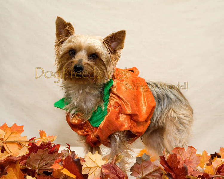 "Juicy B the Yorkshire Terrier won FOURTH PLACE in her pumpkin costume at the 4th Annual Blessing of the Animals on October 8, 2011 in Balboa Park, San Diego, CA.  This event was hosted by <a href=""http://www.blessouranimals.org"" target=""_blank""> Kindred Spirit Animal Ministry</a>."