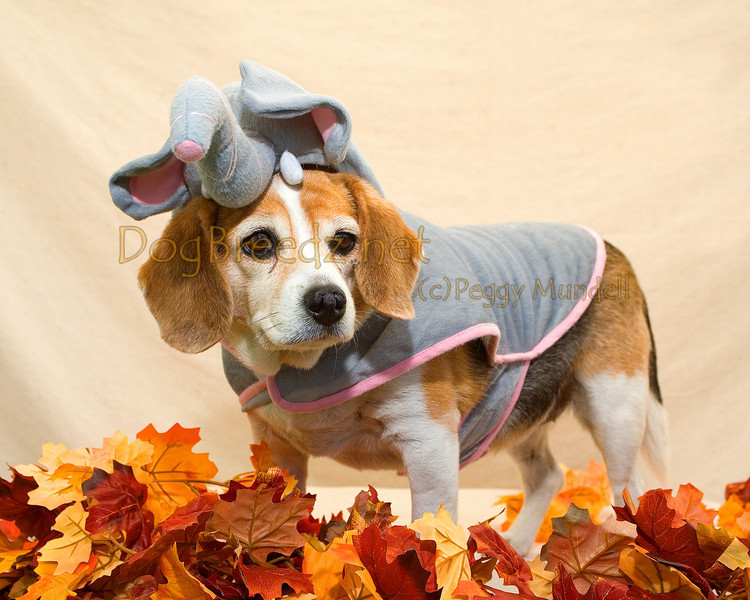 "Troxy the Beagle won MOST UNUSUAL in her elephant costume at the 4th Annual Blessing of the Animals on October 8, 2011 in Balboa Park, San Diego, CA.  This event was hosted by <a href=""http://www.blessouranimals.org"" target=""_blank""> Kindred Spirit Animal Ministry</a>."