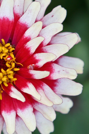 Red & White Zinnia