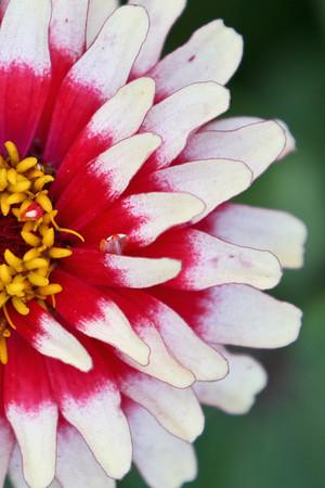 Red & White Zinnia
