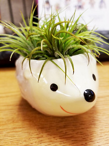 Sonic the Air Plant