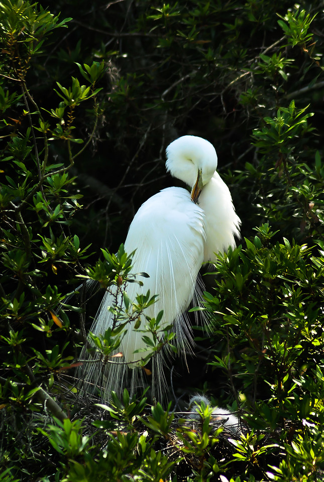 See the babies at her feet?  She's a great white Egret