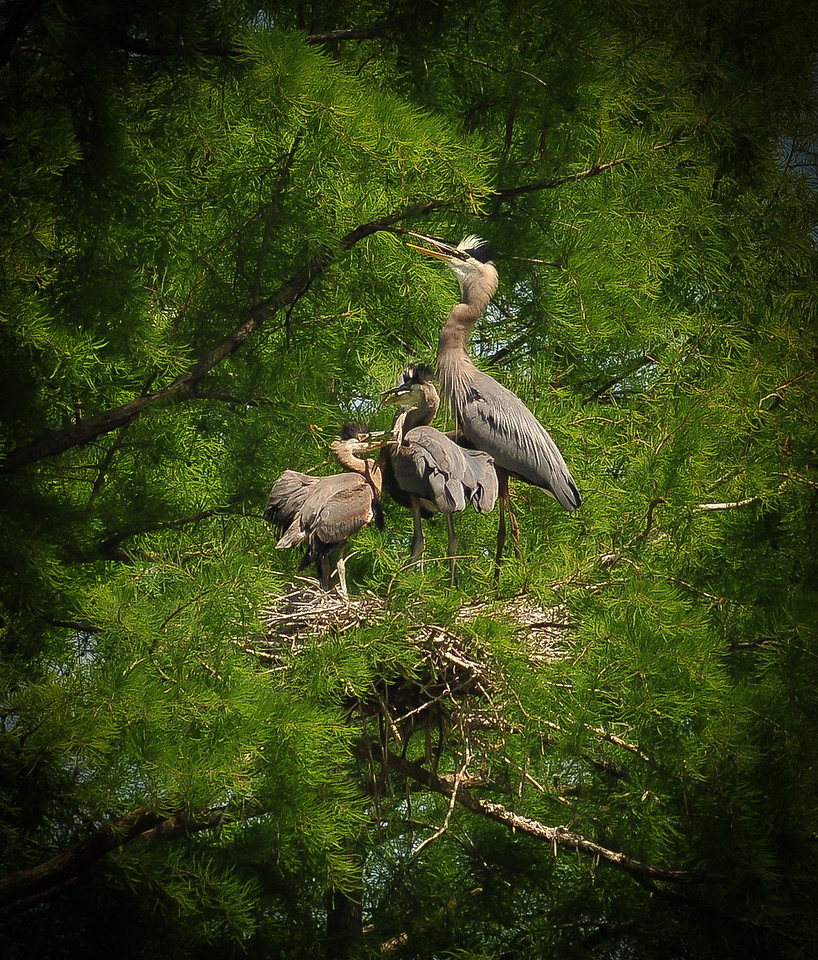 Great blue Heron with her babies