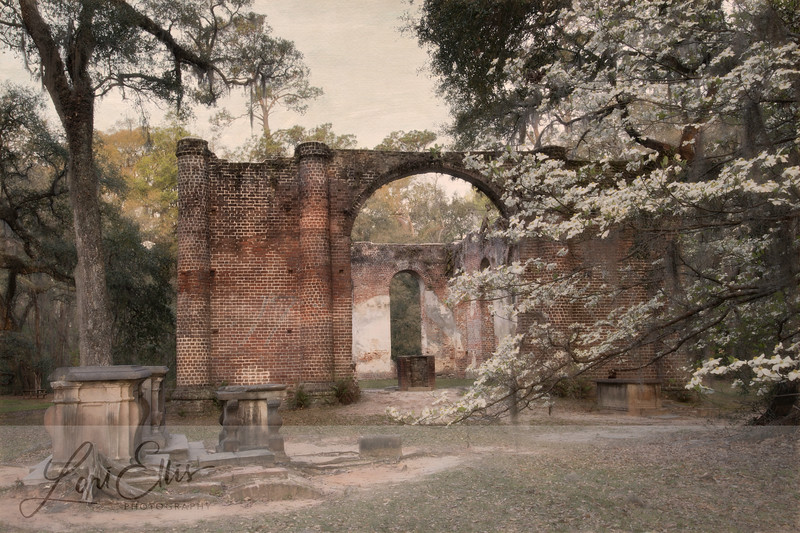 Dogwood and the Old Sheldon Church Ruins