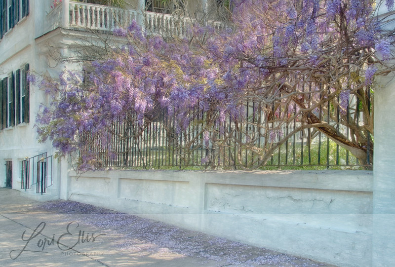 Wisteria on Fence in Charleston
